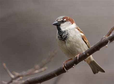 house sparrow bill hubick photography house sparrow passer domesticus