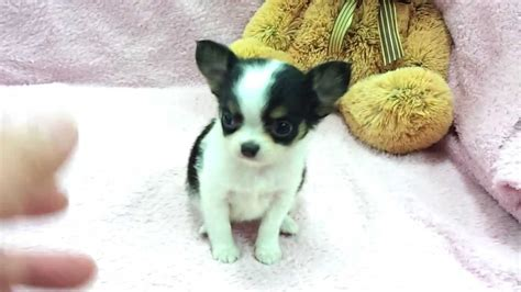 chihuahua puppies for sale in va for you miniature german shepherd puppies teacup australian shepherd breeds picture