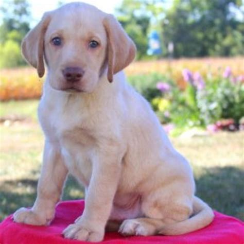 purebred lab puppies labrador retriever yellow purebred puppy litters for sale in hoobly classifieds