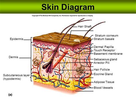 skin layers diagram skin diagram hair shaft stratum corneum epidermis stratum