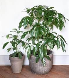 large house plants create an indoor jungle with these large indoor plants