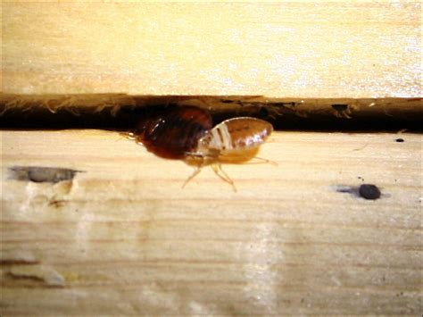 Where Bed Bugs Hide by Ten Bed Bug Extermination Reminders You Must Not Forget