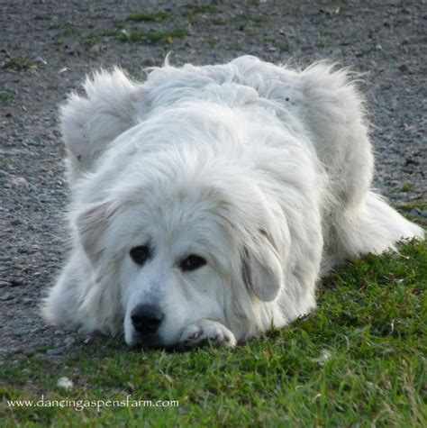 livestock guardian breeds black livestock guardian dogs pics breeds picture
