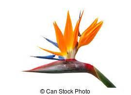 fiore uccello paradiso fiore isolato uccello fondo paradiso reginae