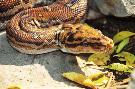 7 Techniques On Caring For A Python by Angolan Python Care Tips And Secrets