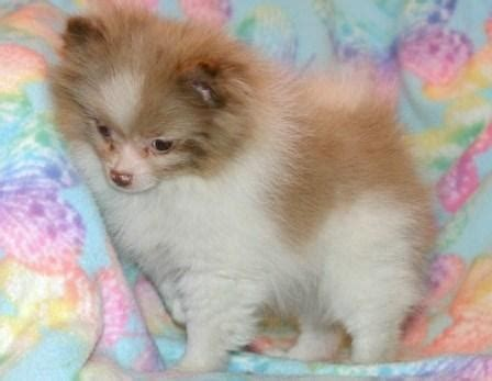 live puppies for sale pomeranian puppies for sale 00 0 china live animals agricultural products