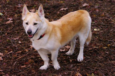 corgi husky mix puppies corgi and husky mix breeds picture news