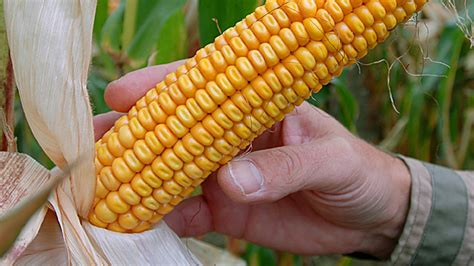 market all ears as corn prices bite herald sun