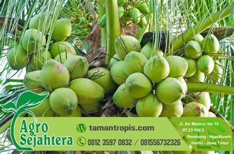 Bibit Kelapa Kopyor Rembang harga bibit kelapa kopyor