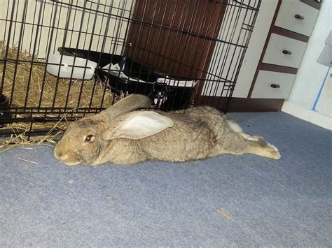 house rabbit 5 month old british giant house rabbit malmesbury wiltshire pets4homes
