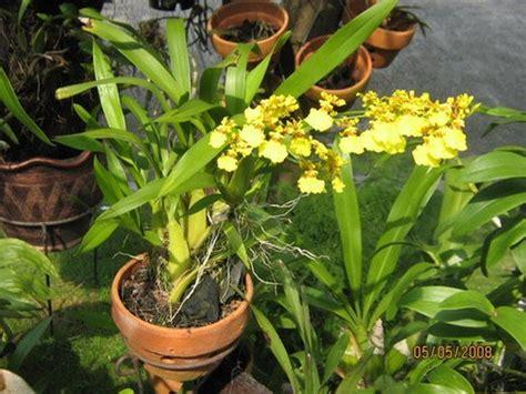 jual bibit tanaman bunga anggrek oncidium golden shower