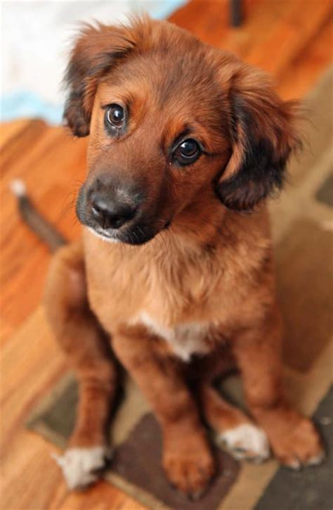 what does a setter dog look like 13 gorgeous golden retriever mixes you just have to see