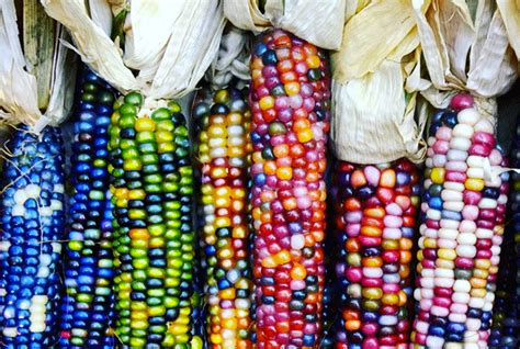 glass gem corn amazing and edible but once endangered