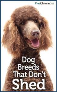names and pictures of non shedding medium sized dogs