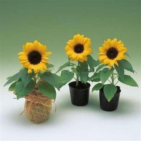 Beli Biji Bunga Matahari penanaman bunga matahari beli murah penanaman bunga