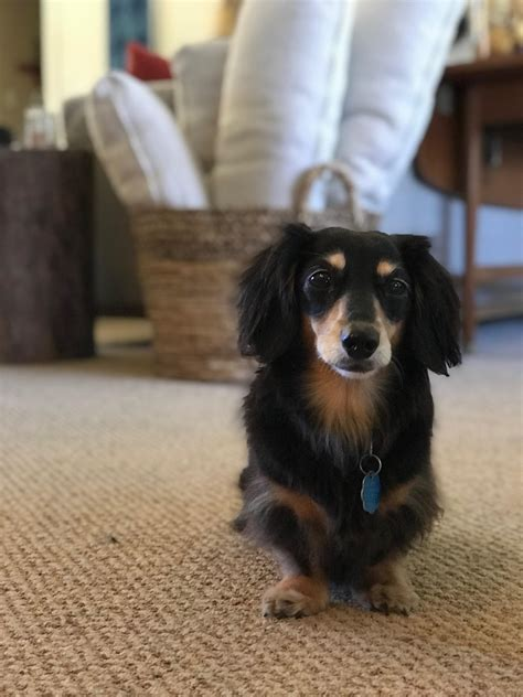 bailey is still going strong at 11 years old dachshund