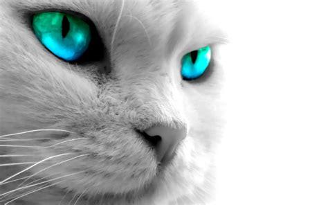 Cat Eye Blue Berkualitas blue eyed cat wallpaper 4934