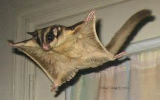 flying squirrel animal wildlife