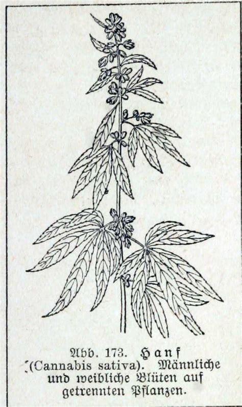 canapé pau cannabis specie della flora