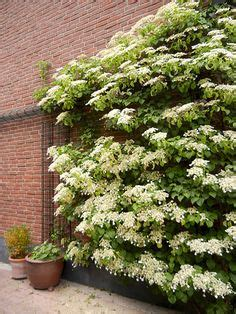 hortensien im garten 4232 climbing hydrangea seeds hydrangea anomala petiolaris