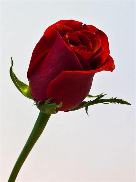 single roses single again free wallpaper downloads