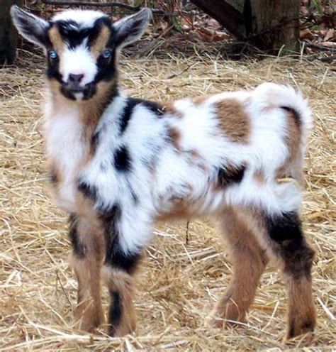 Blue Goat goat baby these guys are the cutest on the farm