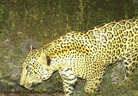 Northern Jaguar Northern Jaguar Project A Binational Effort To Save The