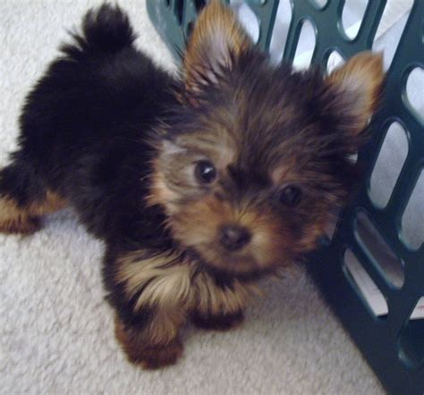 morkies and yorkie poos 17 best ideas about yorkie poo puppies on