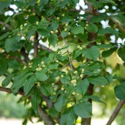 euonymus europaeus european spindle tree