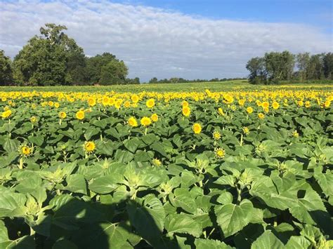 grinter farms grinter farms near lawrence to keep sunflower field free