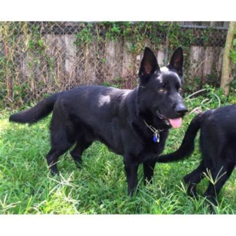 puppies fort lauderdale south florida shepherds german shepherd breeder in fort lauderdale florida
