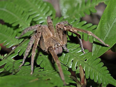 7 Most Poisonous Animals by 6 Wandering Spider 7 Most Poisonous Animals