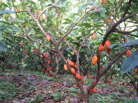 Types Of Foliage Plants - jiva cubesour cacao jiva cubes