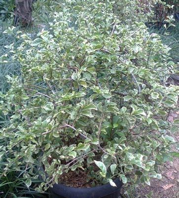 Teh Pucuk Ukuran Besar tanaman hias daun jasa tukang pembuatan taman dan kolam