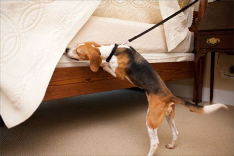 Bed Bugs And Dogs by Bed Bug Detection Canines Az Heat Pest