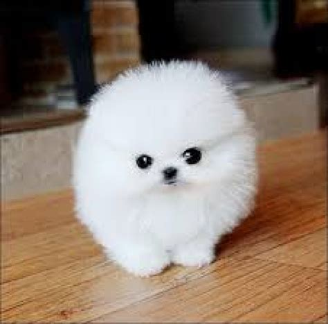 adopt a pomeranian for free pomeranian puppies dogs for sale in tennessee tn pets world