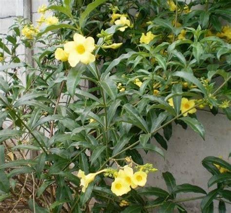 Jual Pupuk Hidroponik Makassar jual tanaman ginje bibit