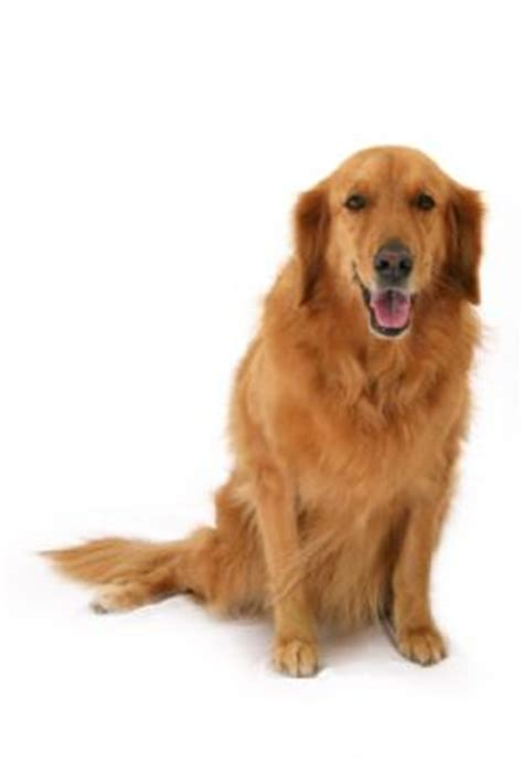 how to care for a golden retriever how to keep a golden retriever s ears healthy grooming tutorial