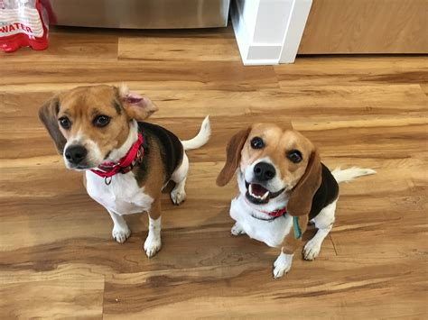 how to a to stop when excited how to stop a pair of beagles from getting excited to listen on walks