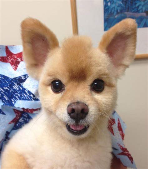 Pics For > Funny Pomeranian Haircuts
