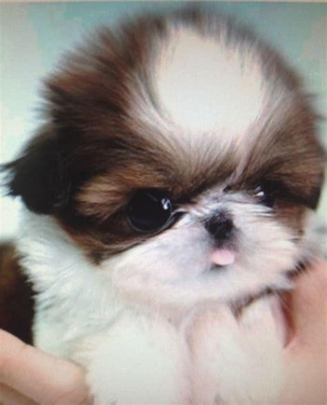 cutest shih tzu puppy best 25 baby shih tzu ideas on