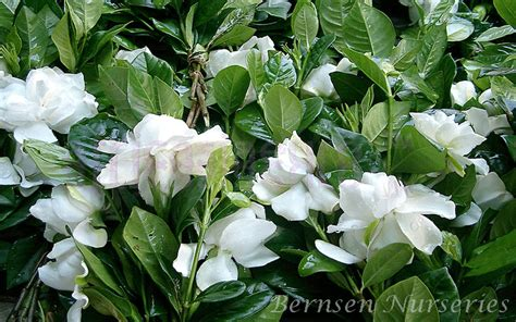Gardenia Bush Care Gardenia Augusta Naples