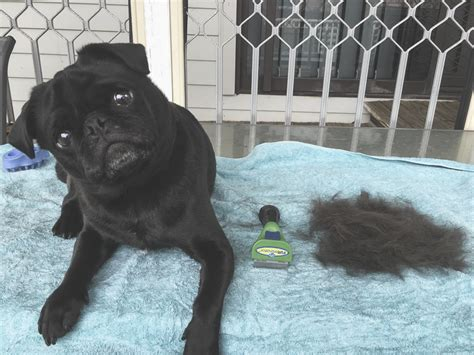 furminator for pugs furminator purchase of the month the pug diary
