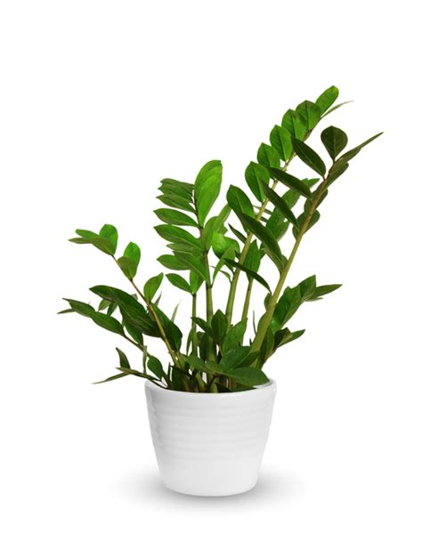 Desk Plant by Getting To Know The Zz Plant Zamioculcas Zamiifolia