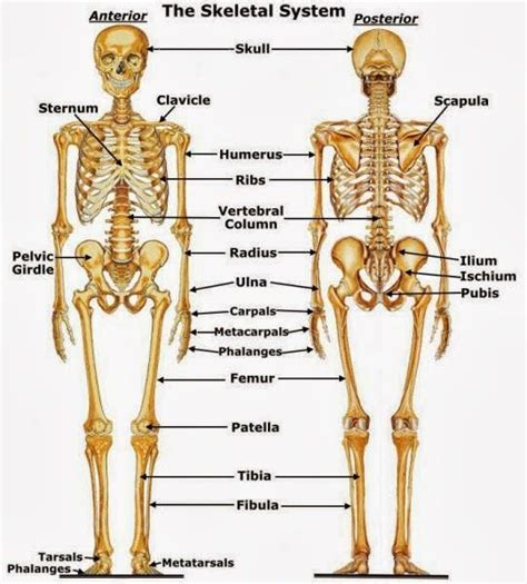 anatomy and physiology coloring workbook answers page 182 detailed human skeleton diagram anatomy and physiology