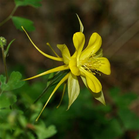 aquilegia chrysantha golden columbine yellow columbine