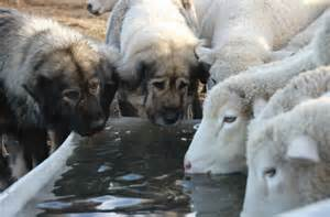 Small Dogs For Home Protection The Rise Of Livestock Guardian Dogs 171 Yellowstone Valley