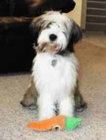 hair cuts for the tebelan terrier tibetan terrier short haircut dog breeds picture
