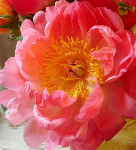 peony coral charm flowers and butterflies