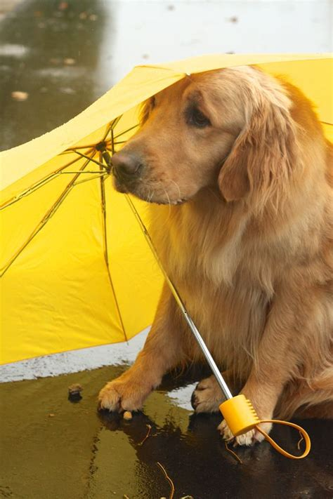 are golden retrievers smart 5 cool facts about golden retrievers